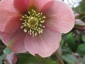dusky pink1